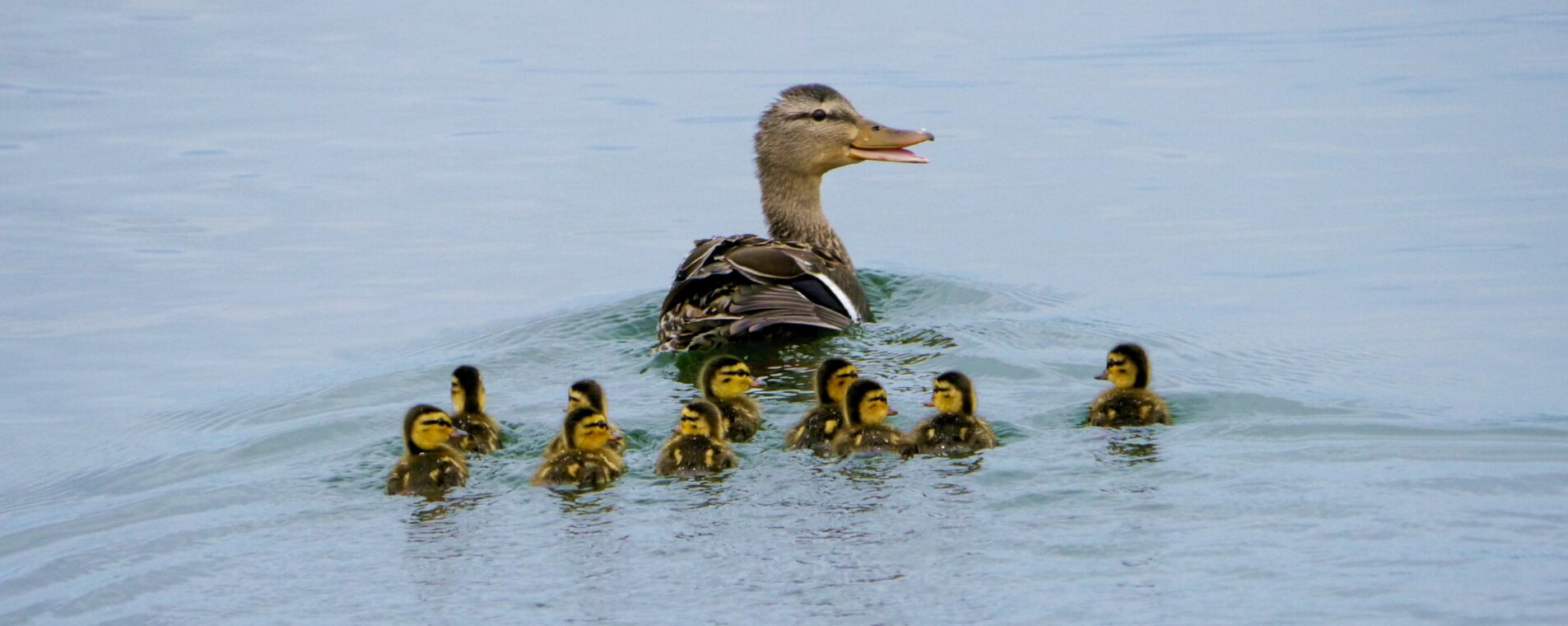 Family of ducks swimming in the water
